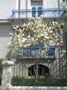 magnolienbaeume-muenchen-2