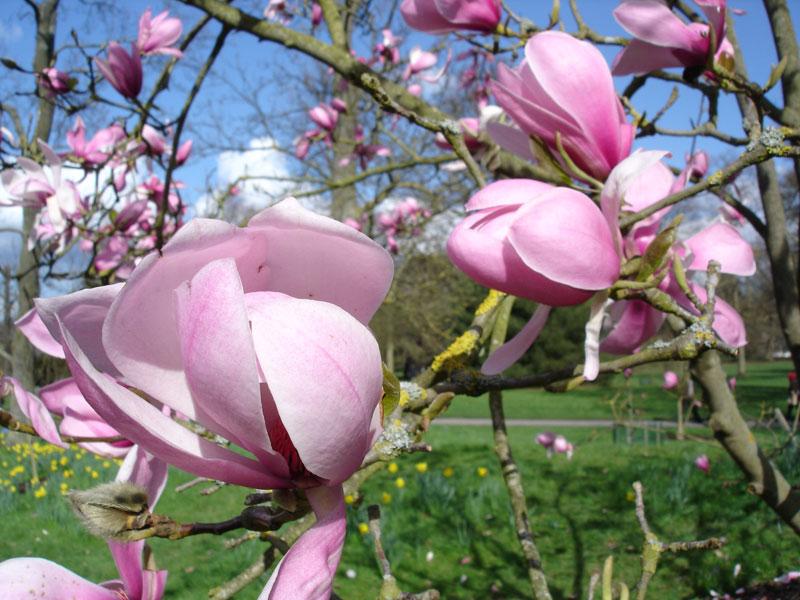 magnolienbaeume-fruehlingstour-muenchen-2019